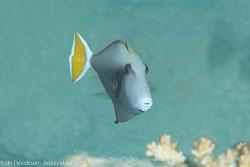 BD-131212-Marsa-Alam-1323-Sufflamen-albicaudatum-(Rüppell.-1829)-[Bluethroat-triggerfish].jpg